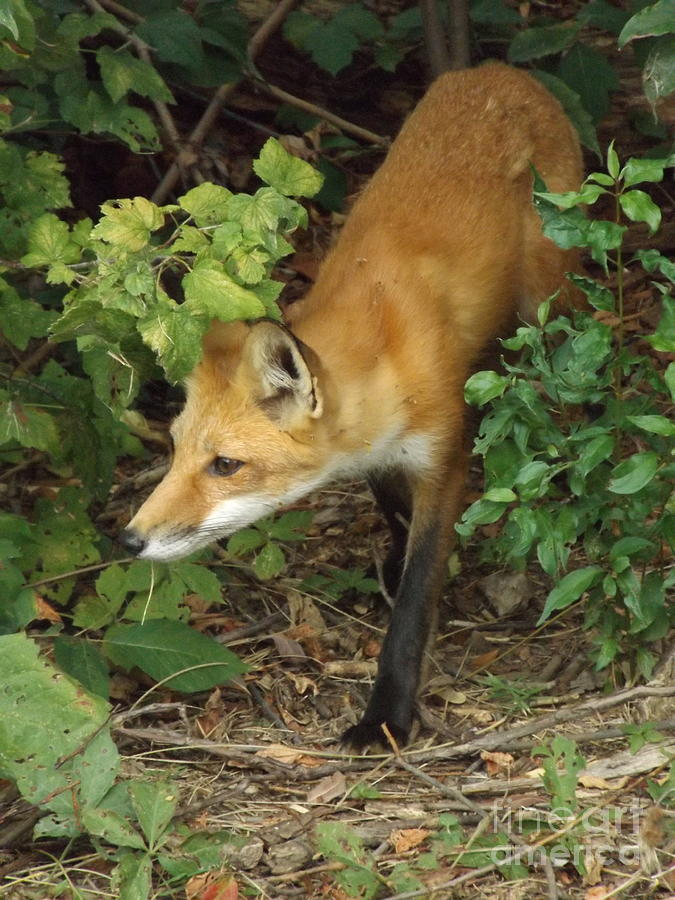 Sneaky Red Fox Photograph