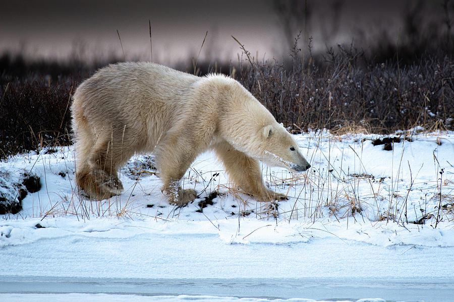 Snow Bear by Mark Hunter