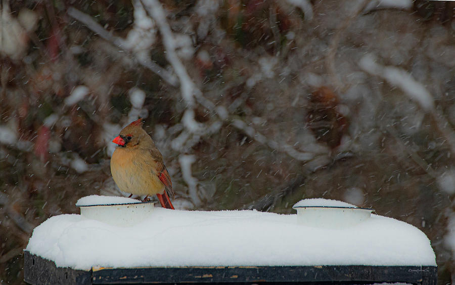 Snow Cardinal by Diane Lindon Coy