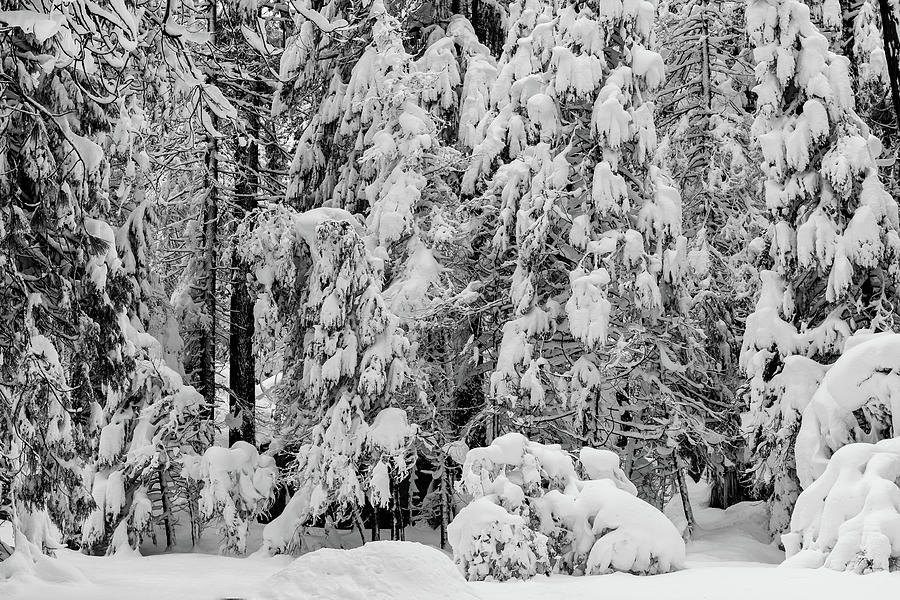 Snow-covered coniferous trees  by Alessandra RC