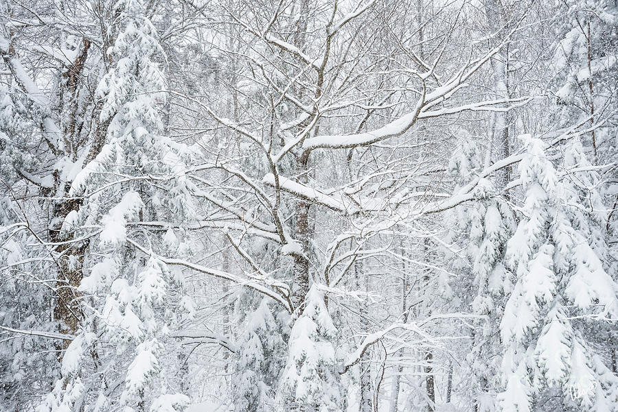 Snow Covered Trees Photograph