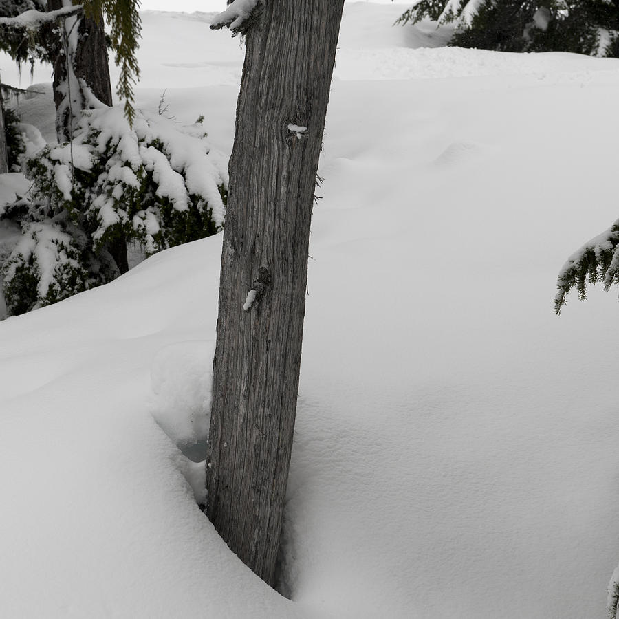 Snow covered trees in Whistler Photograph by Fotosearch