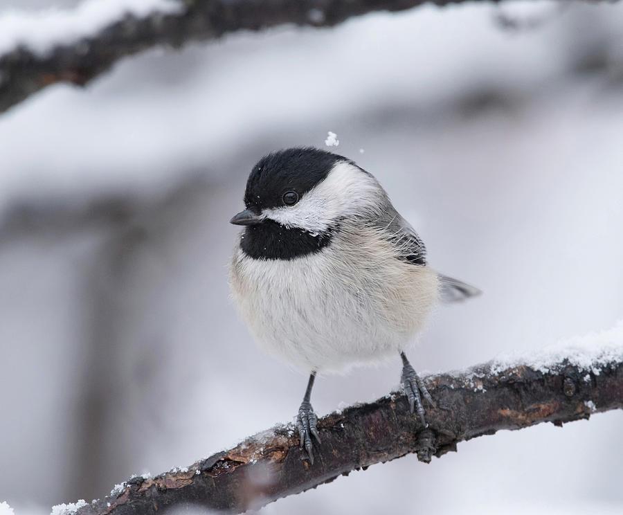 Snow Day Chickadee by Lara Ellis