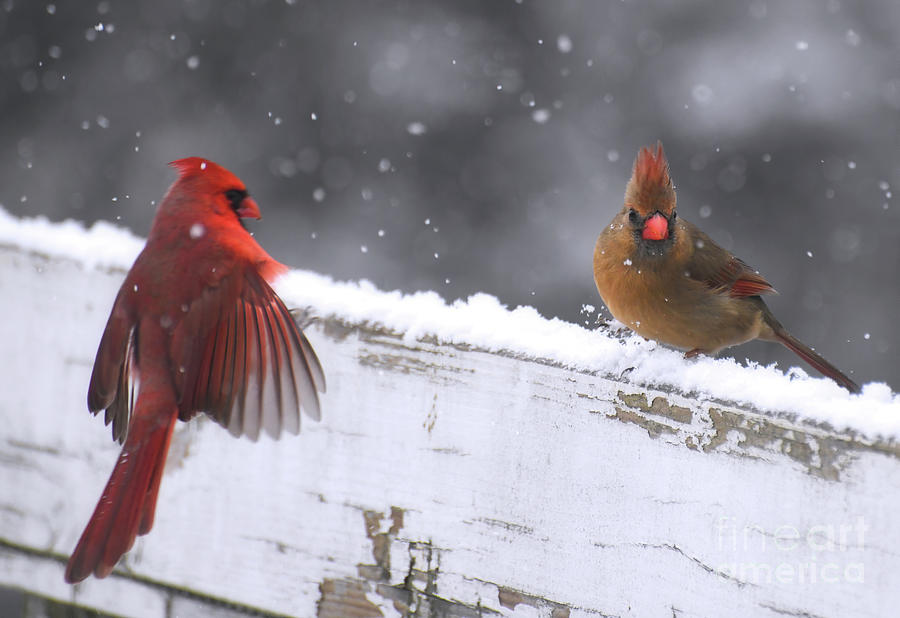 Snow Day Rendezvous - Male And Female Cardinals Photograph