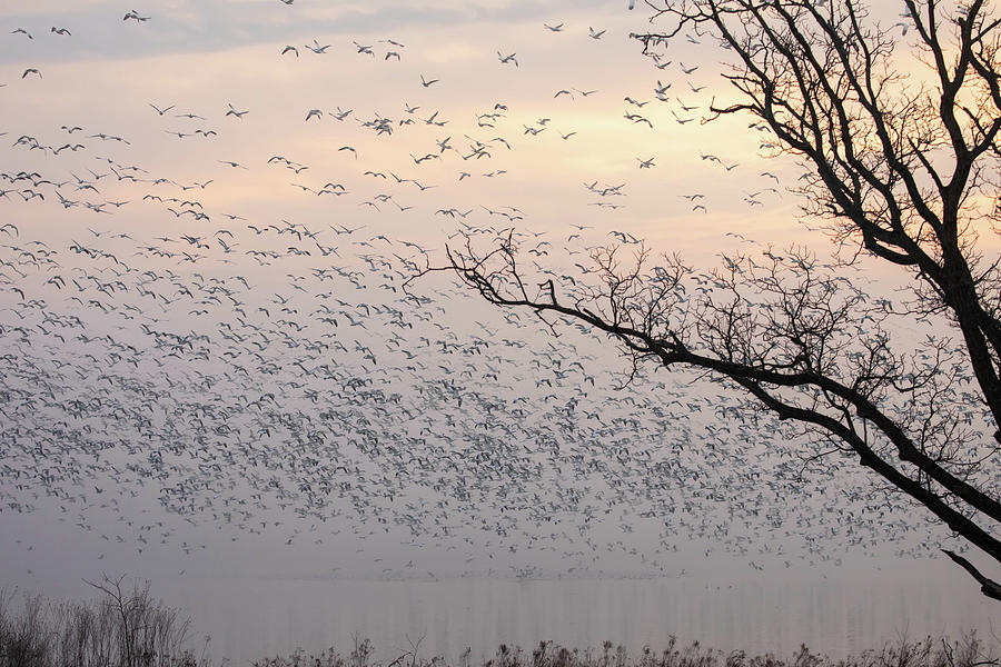 Snow Geese Flying Over Foggy Lake In Spring Photograph
