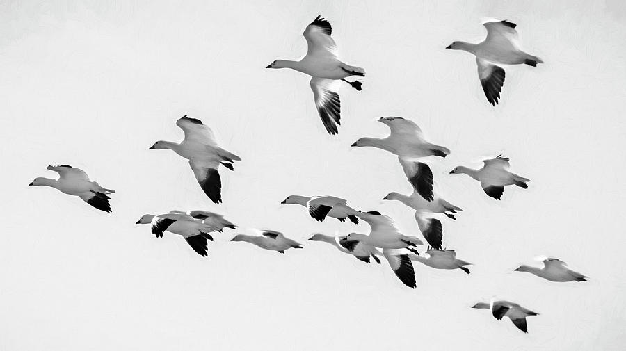 Snow Geese In Flight Bw Photograph