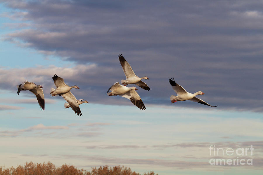 Snow Geese In New Mexico Photograph