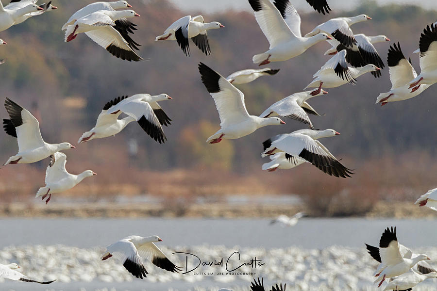 Snow Goose Migration by David Cutts