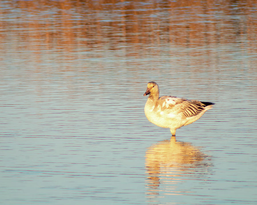 Snow Goose Reflections by Kristia Adams
