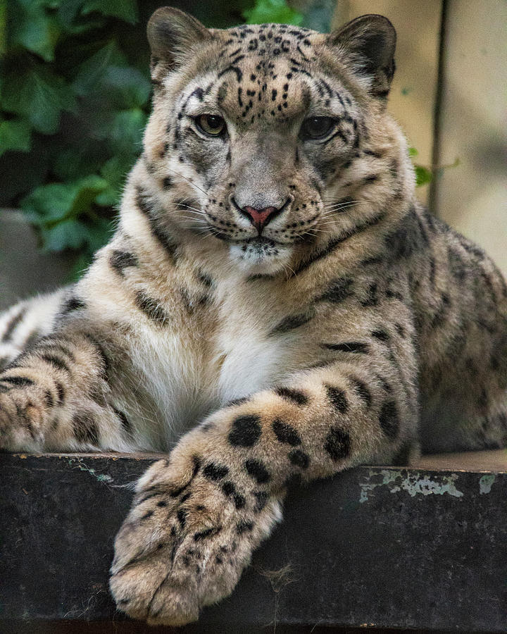 Zoo Boise Photograph - Snow Leopard 2 by Melissa Southern