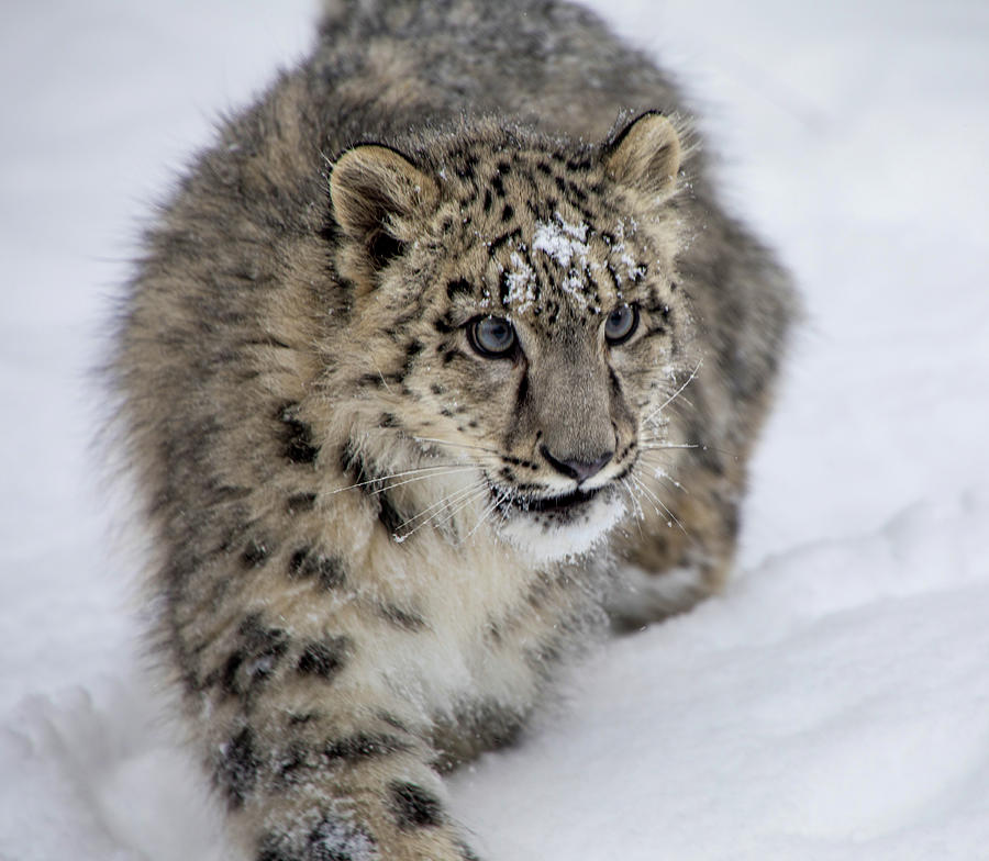 Snow Leopard Cub 2 Photograph