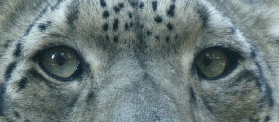 Snow Leopard Eyes by Sandy Keeton
