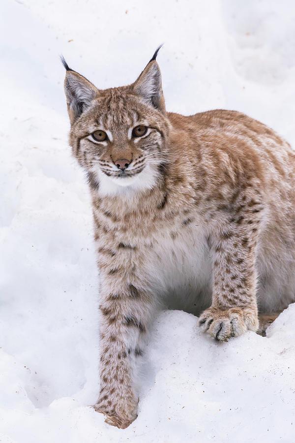 Snow Lynx Photograph