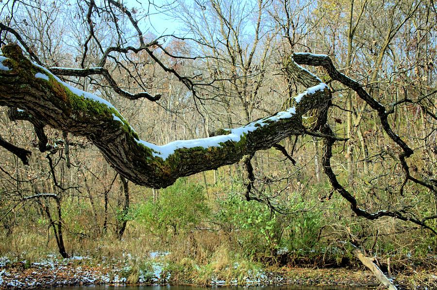 Oak Photograph - Snow On The Bough by Bonfire Photography