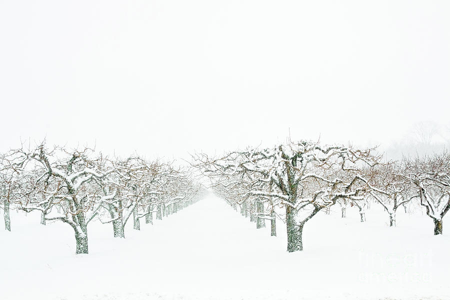 Snow Orchard  Photograph by Marilyn Cornwell