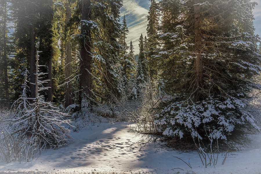 Snow Trees by Bill Posner
