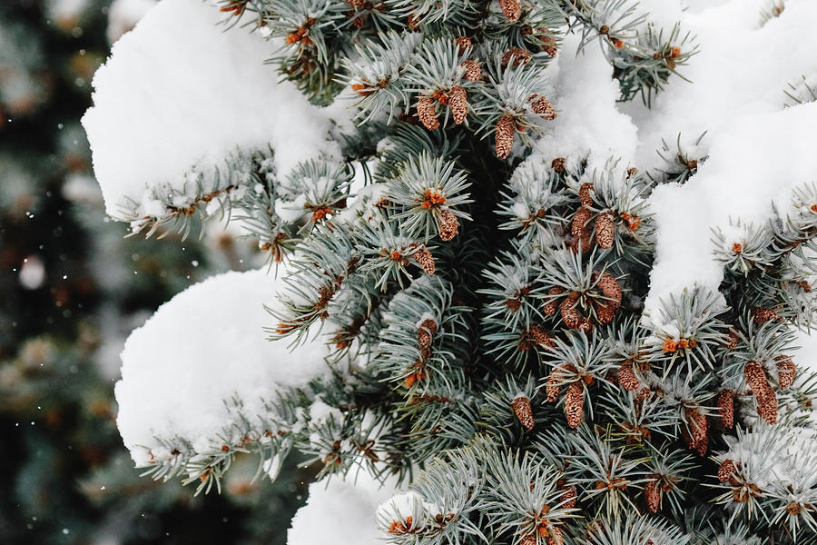 Nature Photograph - Snow Weight by Kamie Stephen
