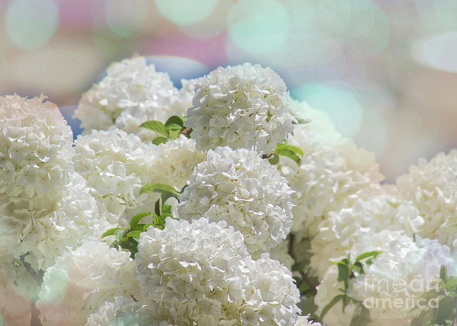 Snowball Flowers by Amy Dundon