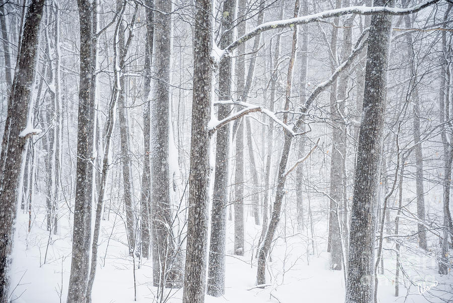 Snowing In The Woods Photograph