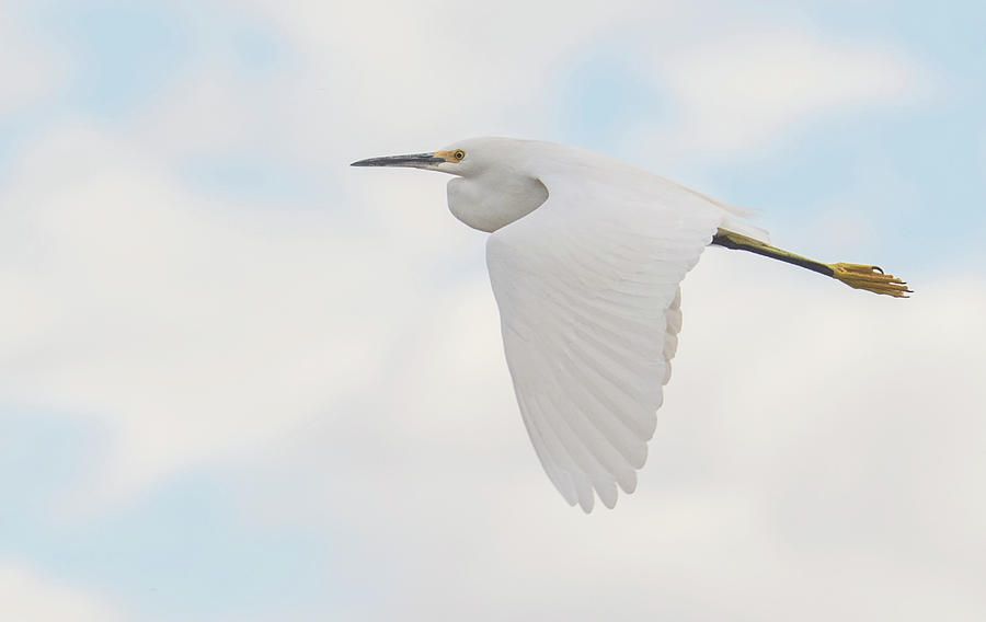 Snowy Egret 4412-110619 by Tam Ryan