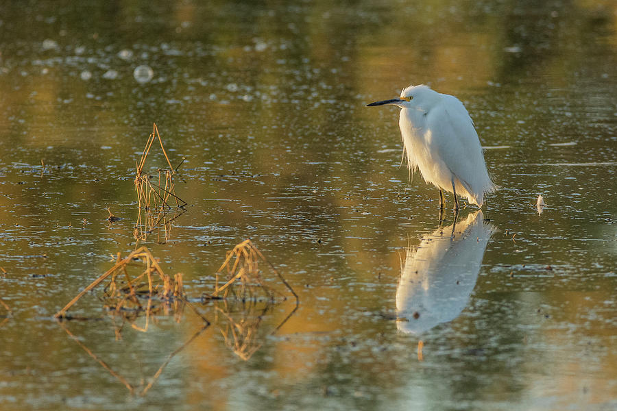 Snowy Egret 4642-011520-2 by Tam Ryan