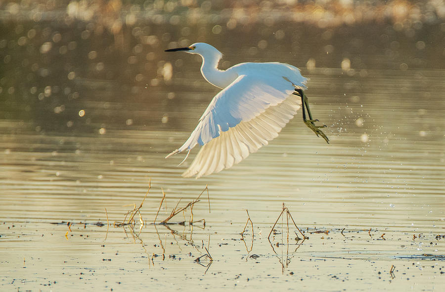 Snowy Egret 4657-011520-2 by Tam Ryan