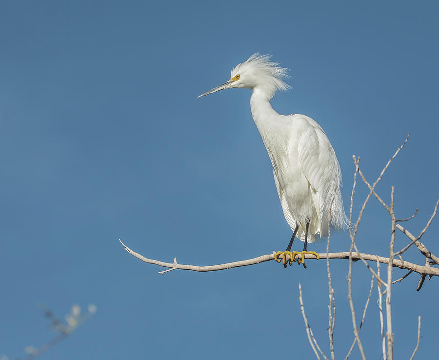 Snowy Egret 4718-011520-2 by Tam Ryan