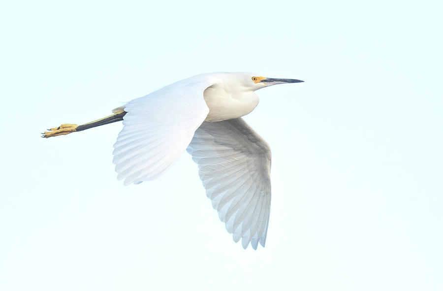 Snowy Egret 4822-111119-2 by Tam Ryan