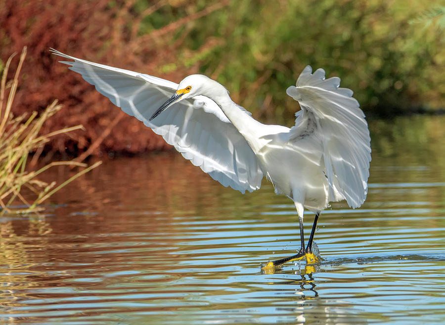 Snowy Egret 5075-111119-2 by Tam Ryan