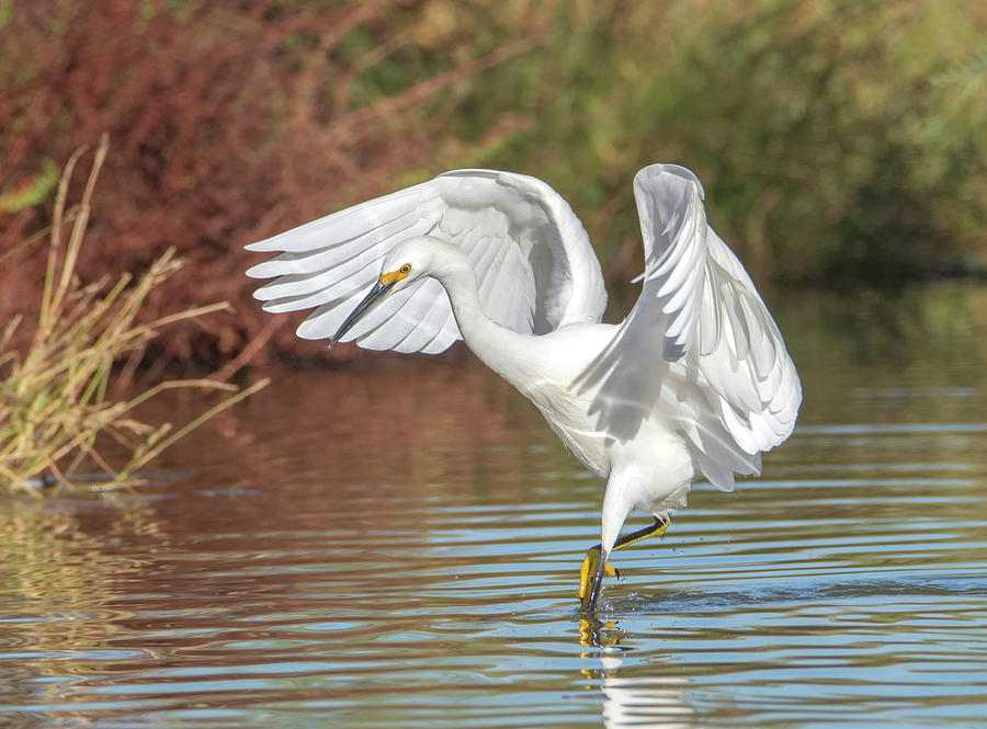 Snowy Egret 5076-111119-2 by Tam Ryan
