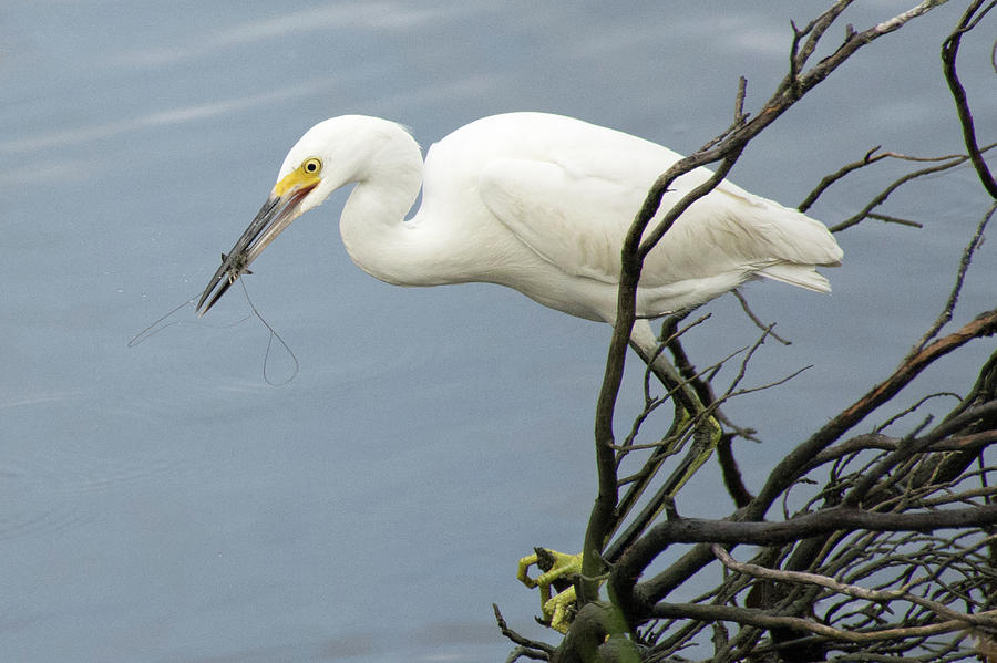 Snowy Egret Enjoying a Shrimp Meal by Bruce Gourley