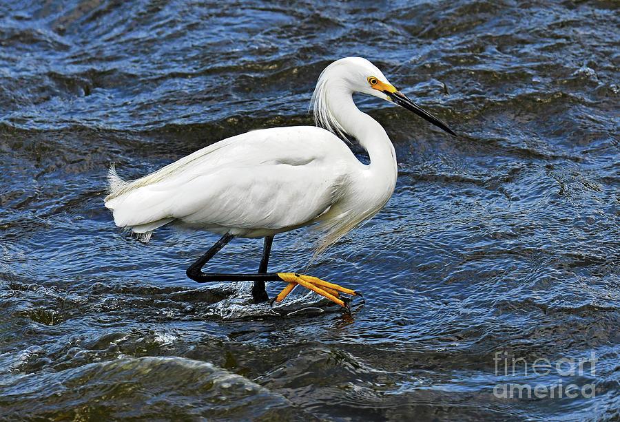 Snowy Egret Fishing For Dinner Photograph