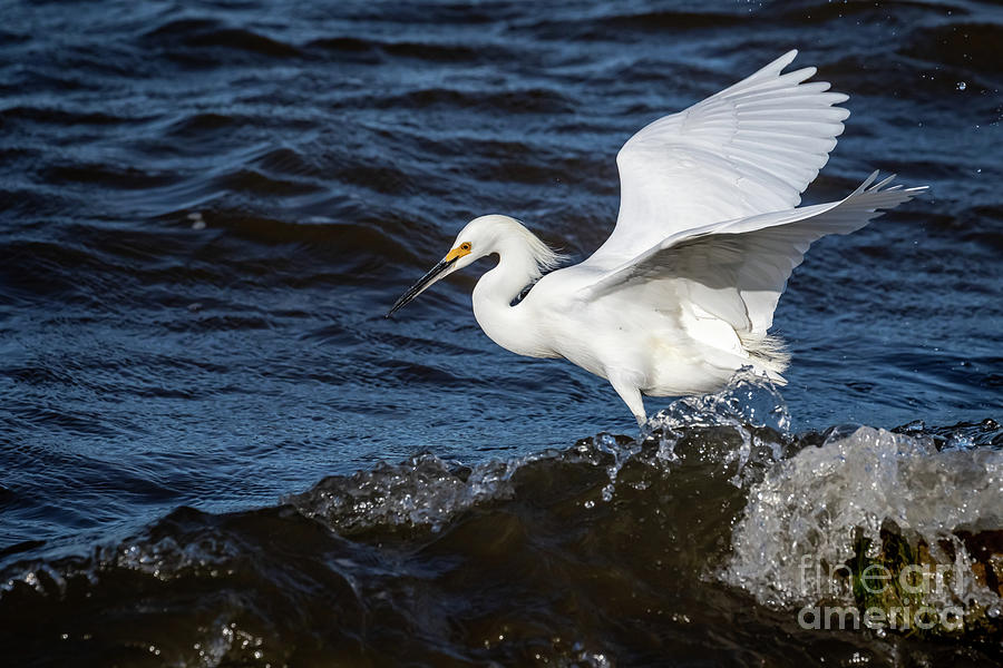 Snowy Egret Fishing In Lake Hefner In Oklahoma C Photograph