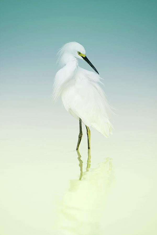 Snowy Egret In Blue Photograph