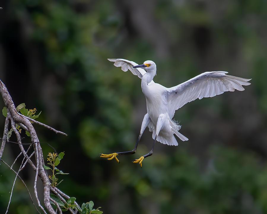 Snowy Egret Landing Photograph by Larry Maras