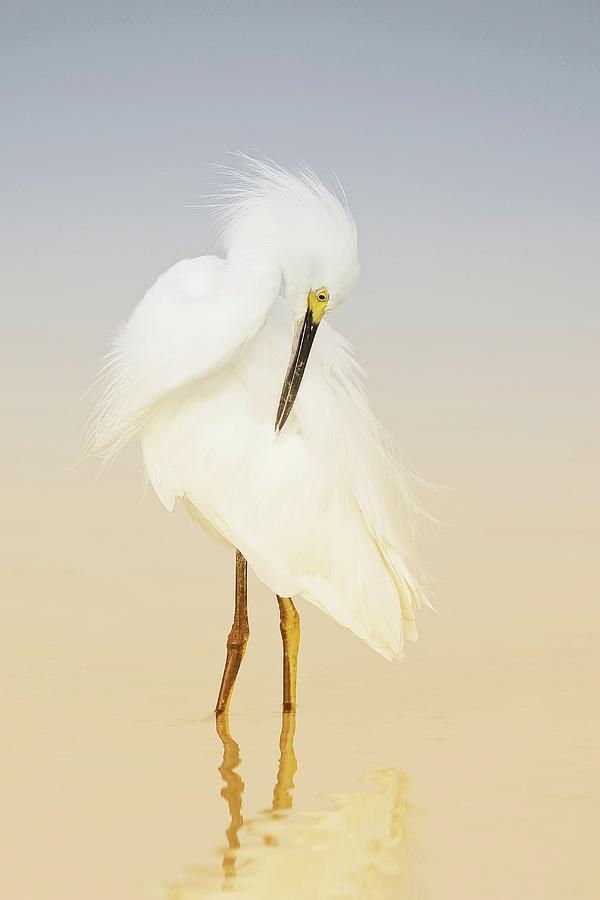 Snowy Egret Preening Photograph