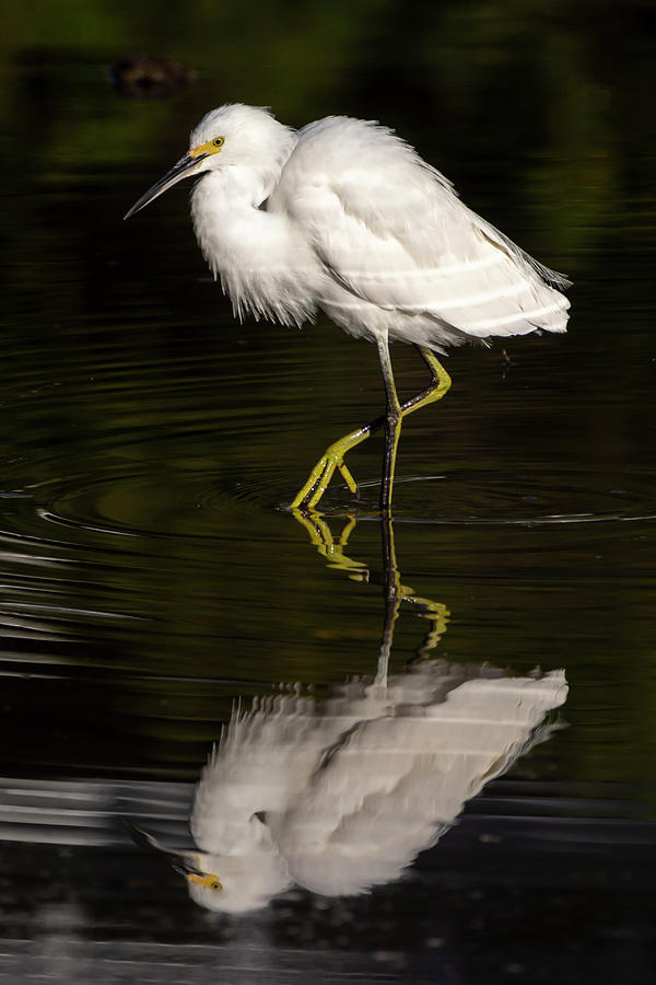 Egret Photograph - Snowy Egret Reflected 02-01 by Bruce Frye