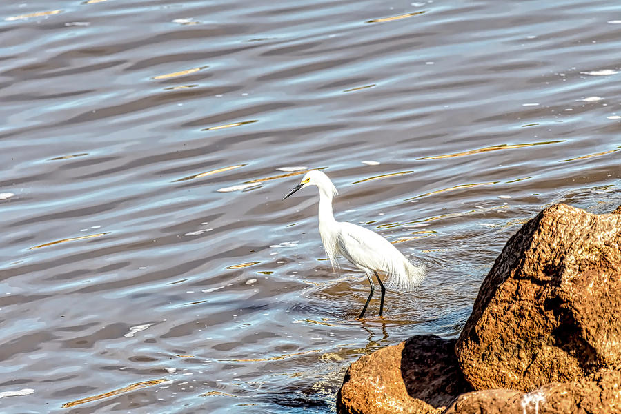 Snowy Egret Watching For Fish Photograph