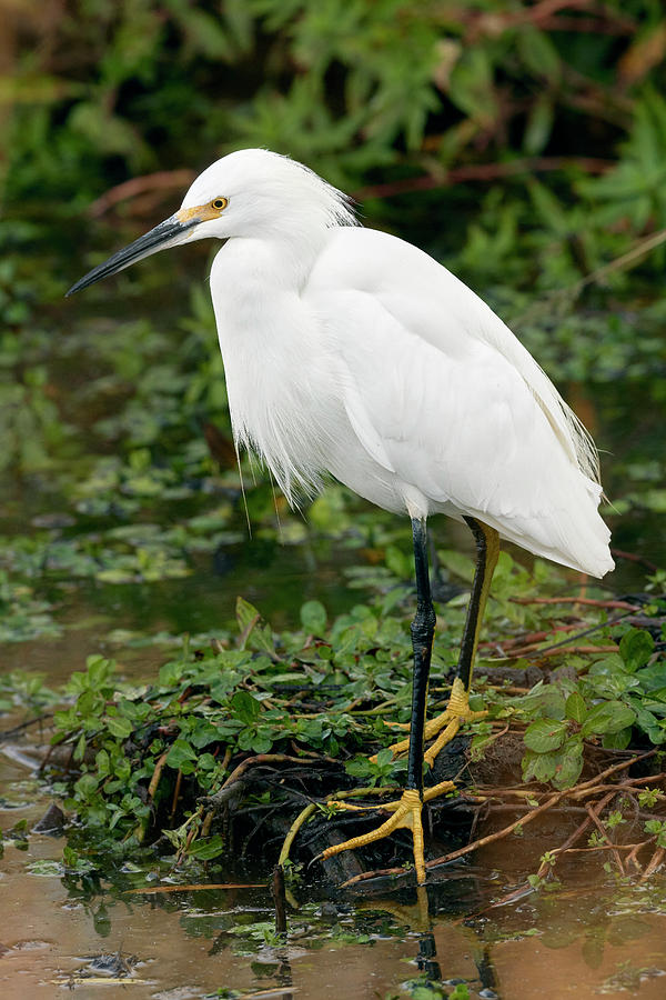 Snowy Egret, Yolo County California by Doug Herr