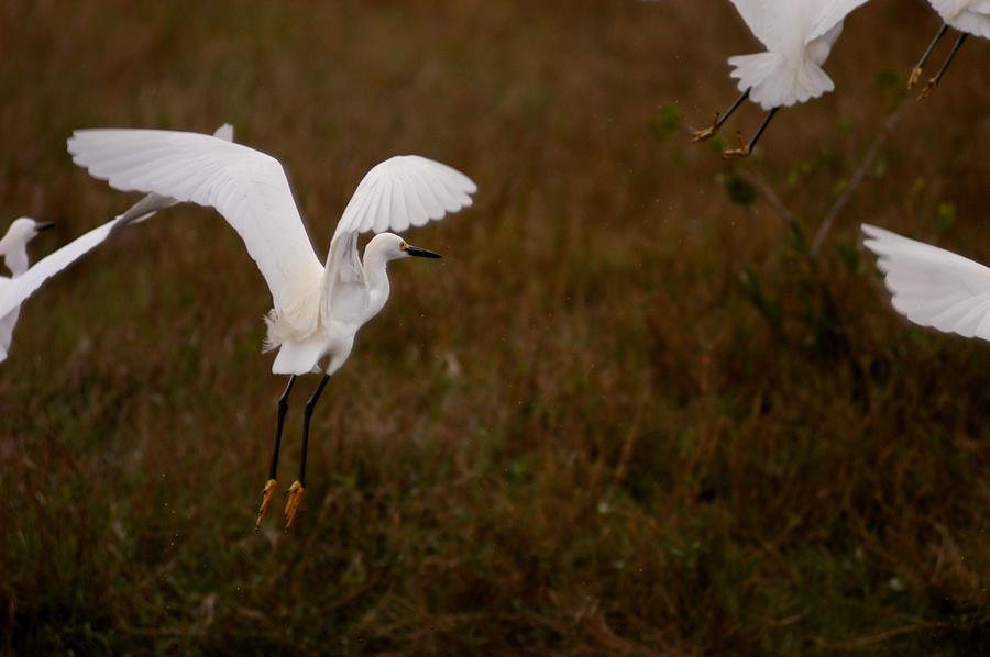 Snowy Egrets II by Jane Melgaard