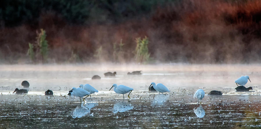 Snowy Egrets in the Mist 3465-011020-2 by Tam Ryan