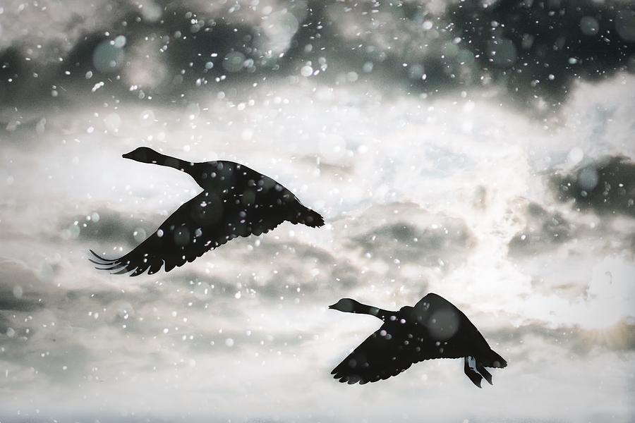 Snowy Flight by Steph Gabler