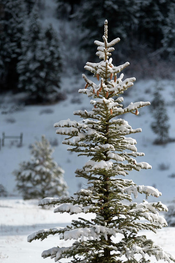 Green Spruce Photograph - Snowy Green Spruce by Mark Langford