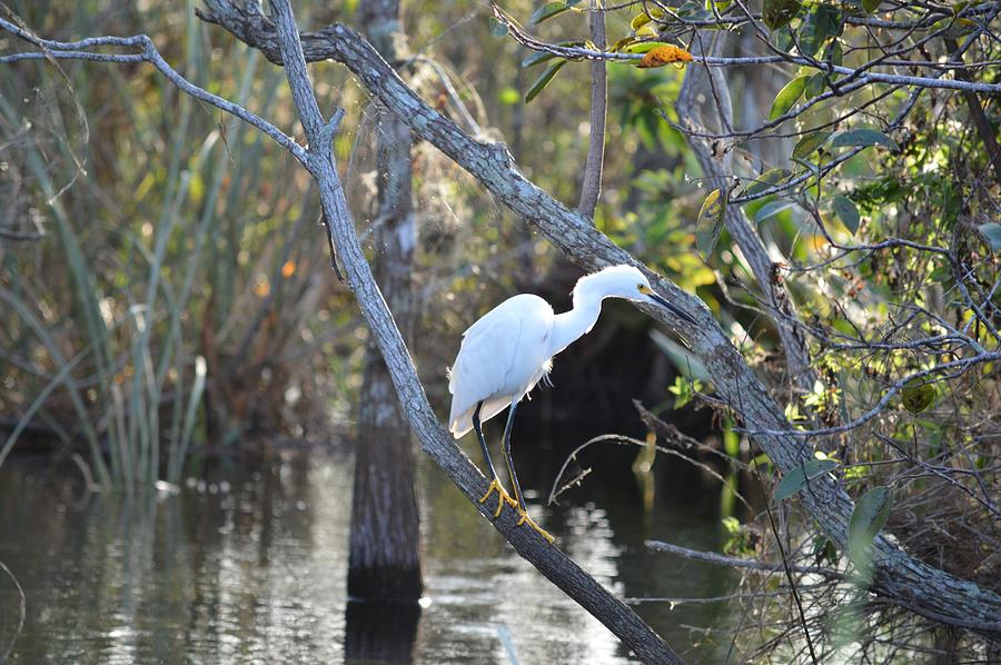 Snowy in the Everglades National Park by RD Erickson