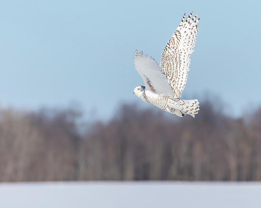 Snowy Owl 2019-11 A by Thomas Young