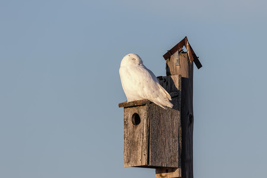 Snowy Owl 2019-6 by Thomas Young