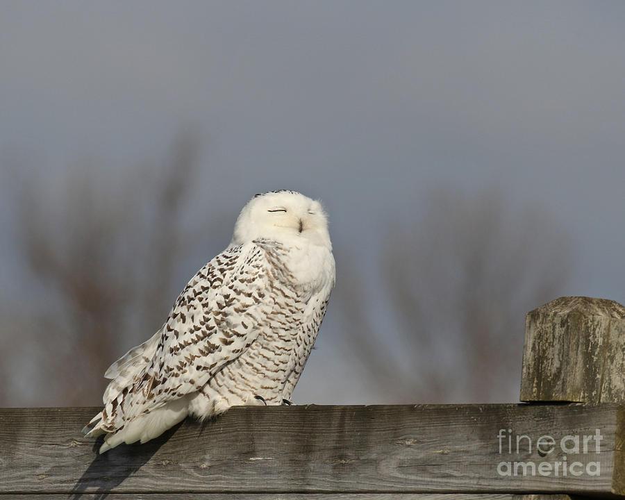 Snowy Owl Meditation Photograph