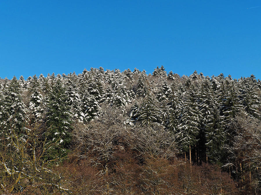 Nature Photograph - Snowy Spruce Trees by Jussi Laasonen