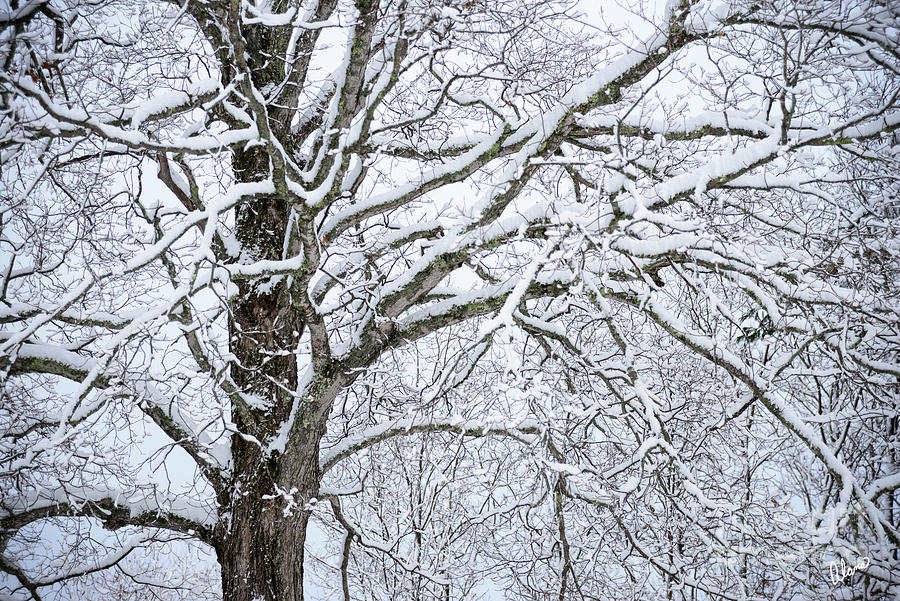 Snowy Tree Branches by Alana Ranney