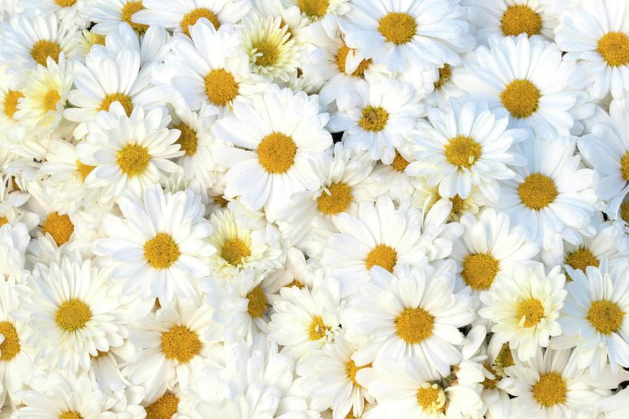 So Many Daisies by Patty Colabuono